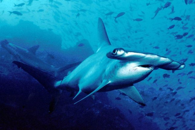 The Carolina hammerhead eluded researchers because its external appearance was similar to the common scalloped hammerhead, pictured. (CC/Barry Peters)