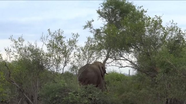 Elephant fells tree to show off for safari-goers in South Africa