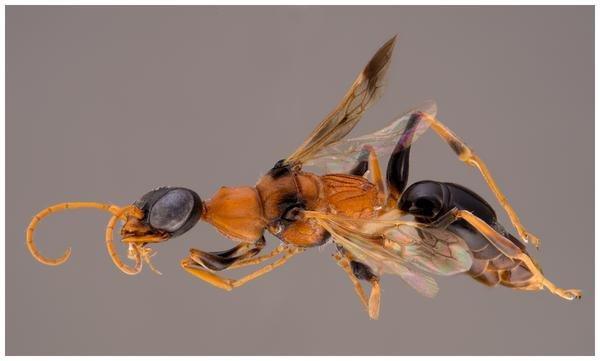 Wasp species named after 'Harry Potter' dementors