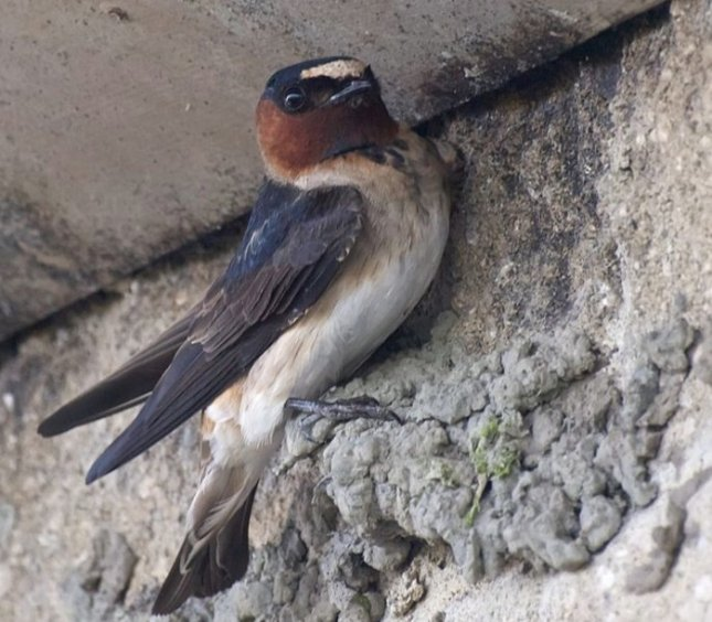 Cliff Swallow ( petrochelidon pyrrhonota) with the early makings of a nest. Credit: Ingrid Taylar, Wikipedia, Creative Commons