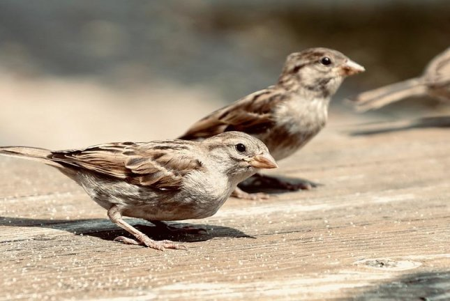 House sparrows exposed to light pollution carried the West Nile virus for two days longer. Photo by Pixabay/CC