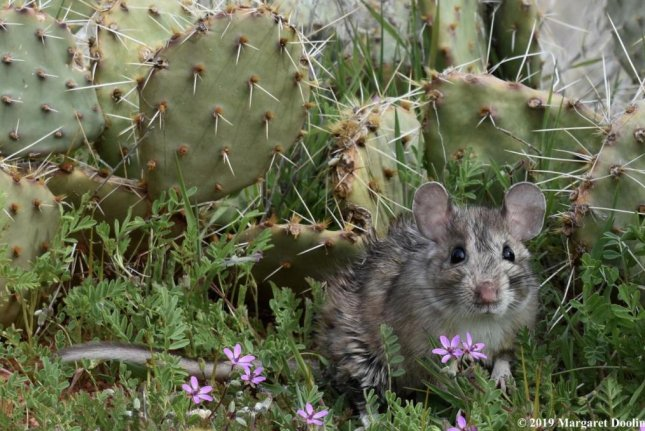A white-throated woodrat is seen with prickly pear cactus. Researchers report that changes from native diet to something else can alter the microbiome of animals. Photo by Margaret Doolin/University of Utah