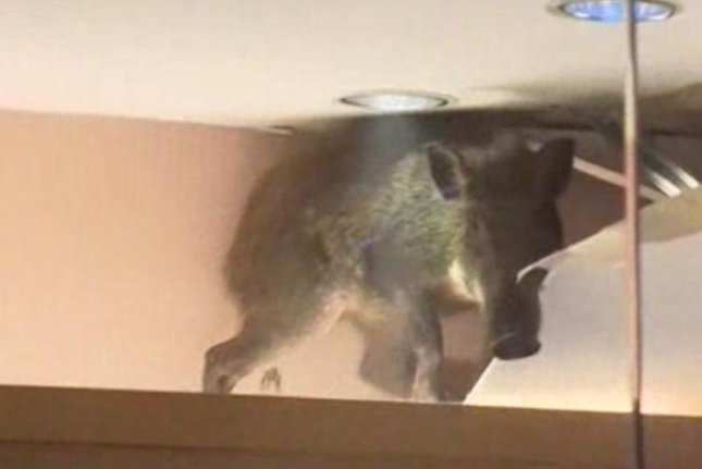 The boar fell through the ceiling in a children's clothing store at a shopping mall in Hong Kong's Chai Wan neighborhood. Sky News video screenshot