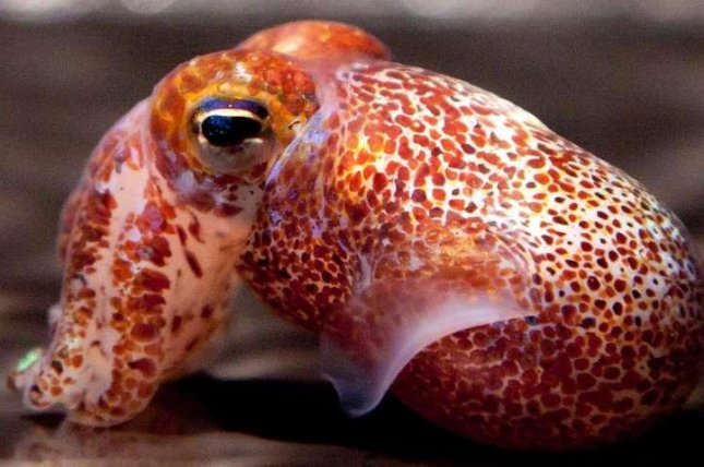 The bobtail squid uses bioluminescent bacteria to produce light patterns that ward off would-be predators. Photo by C. Frazee/M. McFall-Ngai/Oxford