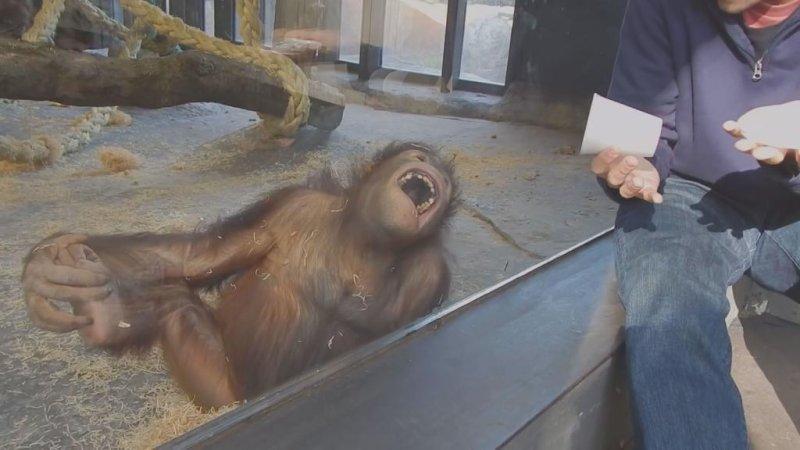 Barcelona Zoo orangutan laughs at man's 'magic trick'