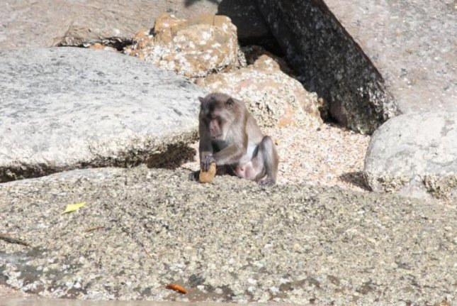 New research shows macaques have been using stone tools for generations. Photo courtesy University of Oxford