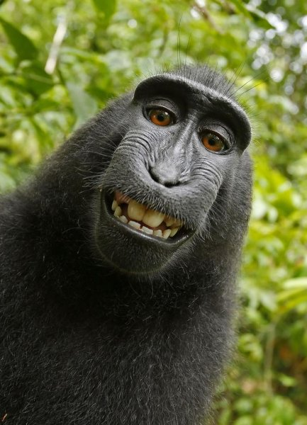 People for the Ethical Treatment of Animals's lawsuit in San Francisco alleged this selfie snapped by a monkey in Indonesia in 2011 is the property of the primate rather than the photographer who owned the camera. Photo courtesy of PETA