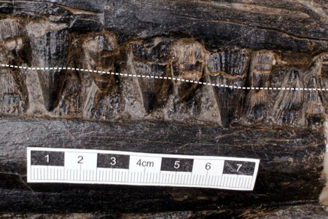 While mostichthyosaurs had rounded teeth, ideal for eating squid, this Middle Triassicichthyosaur species sported sharp teeth -- the kind of incisors that might have helped it eat a giant lizard-like reptile. Photo byJiang et al./iScience