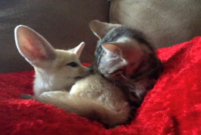 Kitten grooms baby fennec fox during sofa snuggle