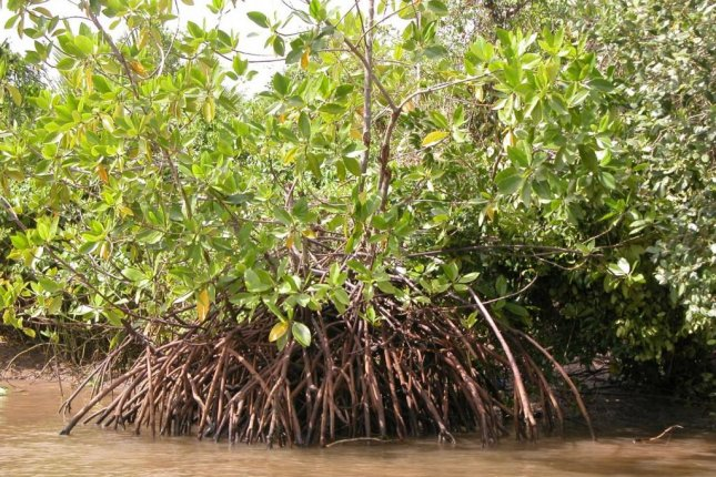 Mangrove forests, like those found in Indonesia's Segara Anakan Lagoon, store large amounts of carbon. Photo by Inga Nordhaus