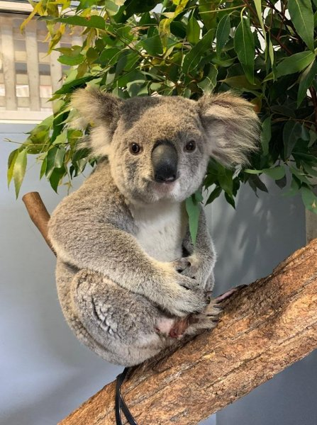 A koala dubbed Wazza is recovering from minor injuries after being struck by a car and being taken for a wild ride at 70 mph in the vehicle's front grill. Photo courtesy of the Port Macquarie Koala Hospital