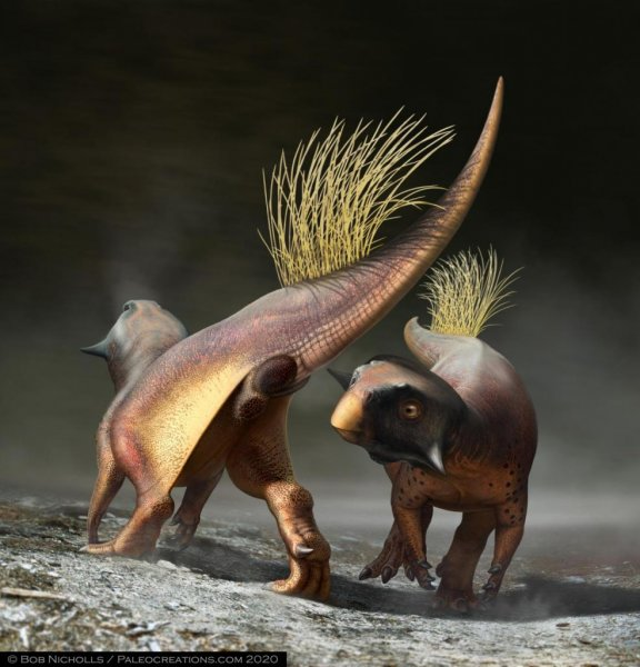 A reconstruction of Psittacosaurus illustrates how the cloacal vent, at the base of the tail, may have been used for signalling during courtship. Photo by Bob Nicholls/Paleocreations.com