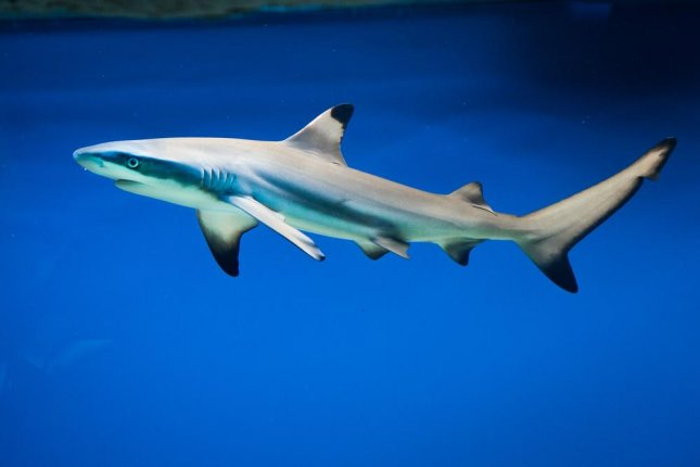 Blacktip Shark - Lessons - Tes Teach