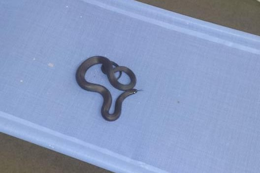Venomous snake found napping on cot at childcare center