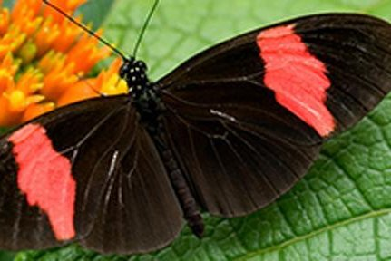 Heliconius Melpomene, a tropical butterfly, stops to drink some nectar in South America. Researcher studied genetic adaptations and their wider influence of genetic diversity in Heliconius butterflies. Photo by Chris Jiggins/University of Cambridge