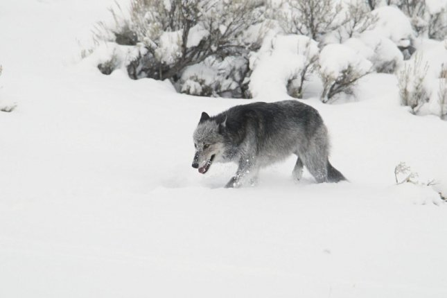 Scientists recovered and sequenced RNA from the frozen remains of a Pleistocene-era wolf. Photo by Yellowstone National Park/NPS