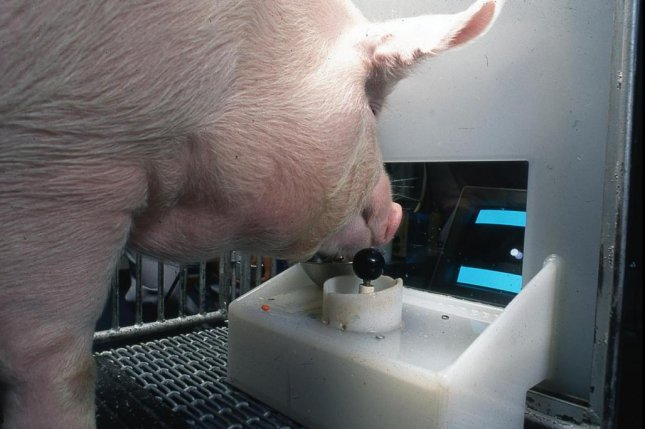 A Yorkshire pig is pictured manipulating a joystick, which researchers said shows remarkable behavioral and mental flexibility. Photo byEston Martz/Pennsylvania State University