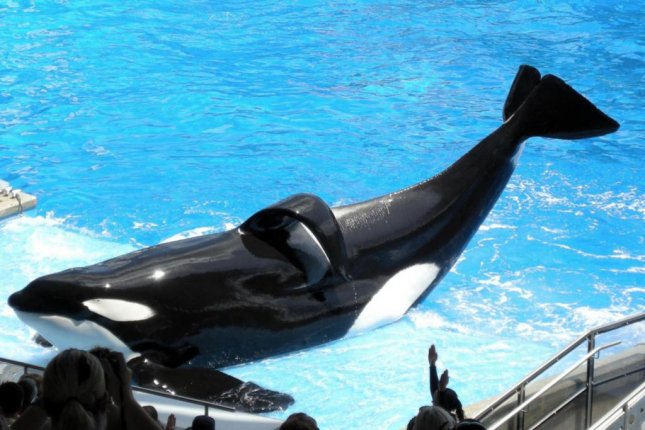 Killer whale Tilikum performs a trick during a show at SeaWorld Orlando. The whale died Friday after suffering a lung infection, the theme park announced. File Photo by Milan Boers/Wikipedia