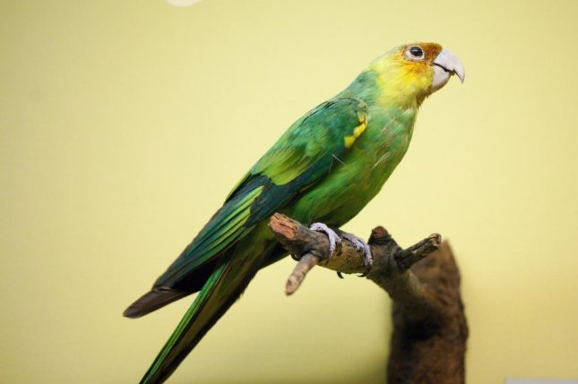 If players of the video game Red Dead Redemption 2 shoot a Carolina parakeet, they're warned about its endangered species status. Photo byField Museum of Natural History/Flickr