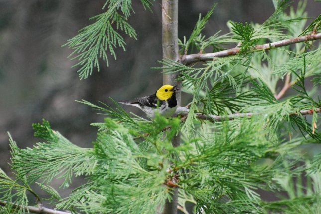 Hermit Warblers were one of the eight species whose calls were recorded as part of a new study exploring the connections between seasonal bird vocalizations and climate change. Photo by M. McGrann