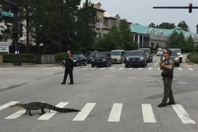 A considerate alligator uses the crosswalk at a Florida intersection. Photo courtesy of the Flagler County Sheriff's Office