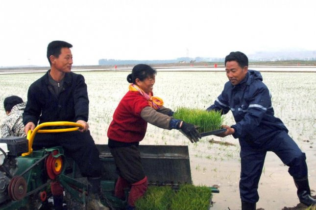 North Korean farmers transfer rice seedlings in Chongsan-li. Seoul's Unification Ministry said if a water shortage in North Korea persists until July 5, potato and rice yields are expected to decrease rapidly, and corn production is also likely to be affected. Photo by KCNA/Yonhap