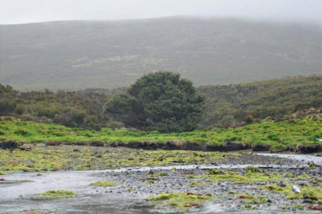 The isolated Sitka spruce on the South Ocean's Campbell Island is considered the loneliest tree in the world. Photo by Chris S. M. Turney, et al./Scientific Reports