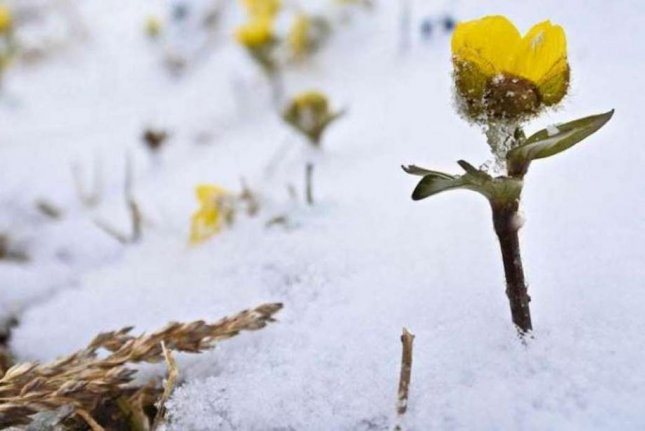 In the mountains of the Arctic, flowers like the snow buttercup rely on snow drifts to thrive. With rising temperature, snow coverage is likely to shrink, threatening endemic plant species. Photo by Julia Kemppinen/University of Helsinki