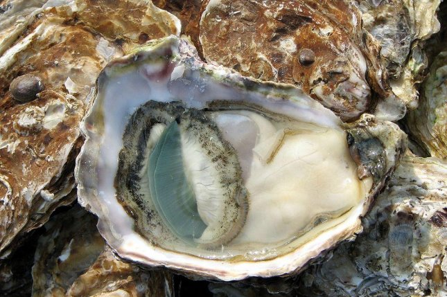 Oysters and oyster farmers could be under threat from ocean acidification. Photo by Chris 73/CC