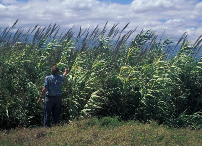 Giant reed, also known as arundo donax, is an invasive species in the U.S. where it was originally imported to control erosion.