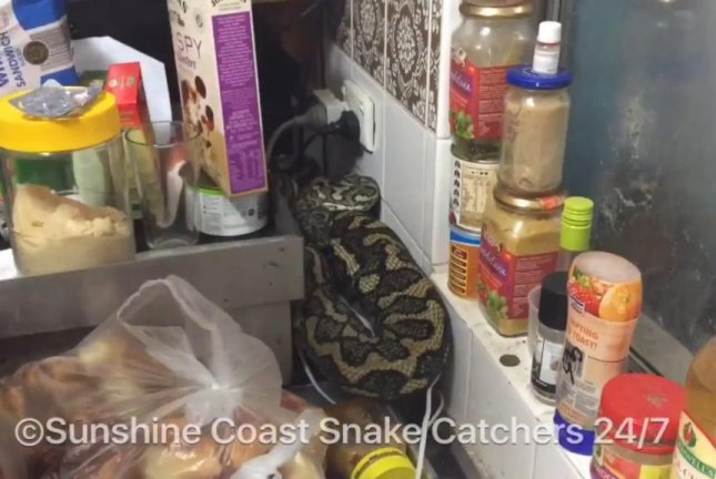 This fatty of a python was removed from a Yandina, Queensland, kitchen counter. Screenshot: Storyful