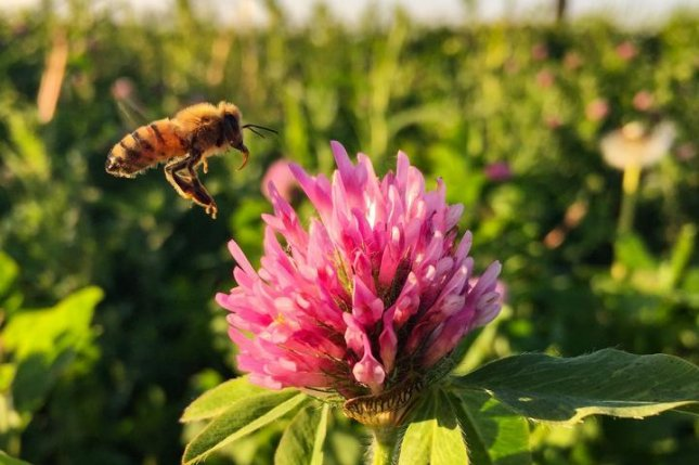 Bees living on or adjacent to soybean farms in Iowa rely on the clover that line the edges of crop fields. Photo by Amy Toth/Iowa State University