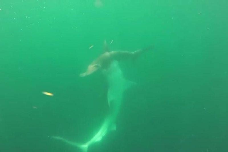 A tiger shark attacks a hammerhead shark off the coast of Louisiana. Screenshot: Storyful