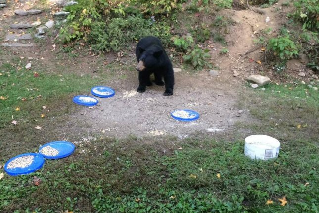 A bear walks among plates of food a Vermont man put out in his yard to feed local black bears. Photo by Vermont Fish & Wildlife/Facebook