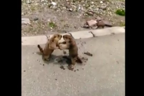 Two marmots have a roadside fight in China. Screenshot: Newsflare
