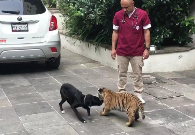 A stray dog in Mexico got to play with a tiger cub after being rescued by an animal foundation. Moka the dog was brought in off the streets and still needs to gain some weight according to the foundation. 