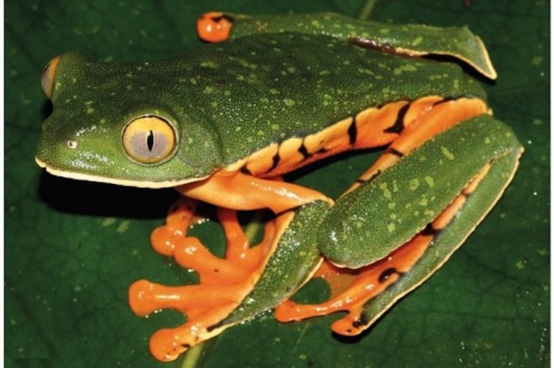 after a century of study famed tree frog named new species upi com