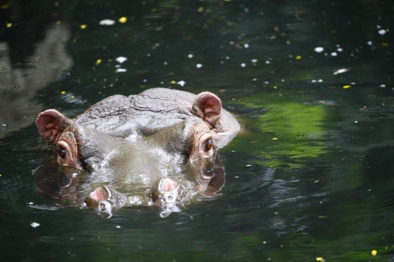 Hippo attacks kill Chinese tourist, fisherman in Kenya - UPI com