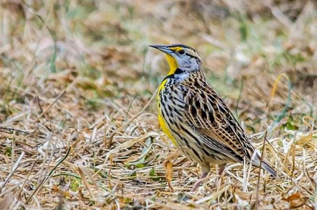 The Eastern meadowlark is one of several migratory birds that could be impacted by shifting wind patterns as the climate warms. Photo by Laura Frazier/Cornell Lab of Ornithology