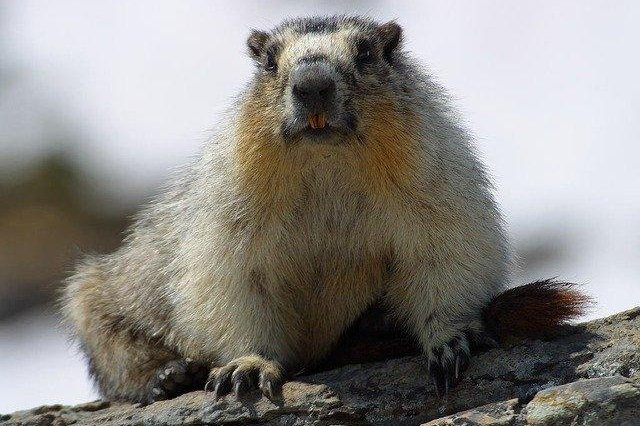 Bubonic plague is one of three forms of human plague and is typically spread through flea bites or infected animals, such as marmots (pictured). File Photo by PDPhotos/Pixabay/UPI