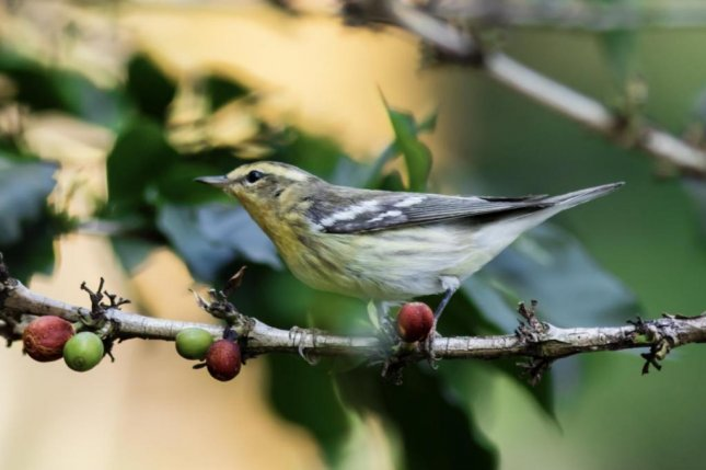 A blackburnian warbler is pictured perching on the branch of a shade-grown coffee bush in Colombia. Photo by Guillermo Santos/Virginia Tech
