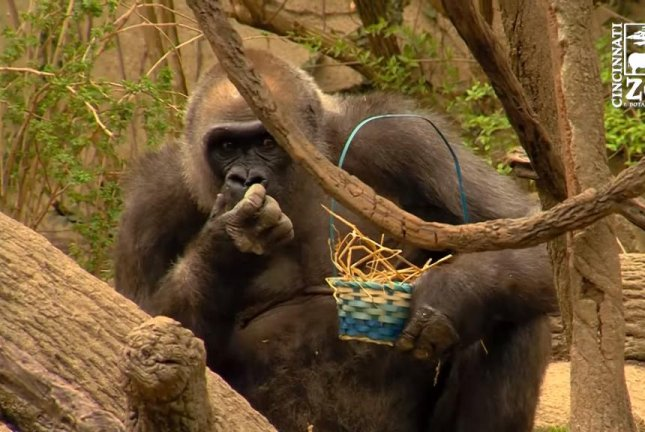 A western lowland gorilla enjoys an Easter egg from the basket he found in his enclosure. Screenshot: Storyful