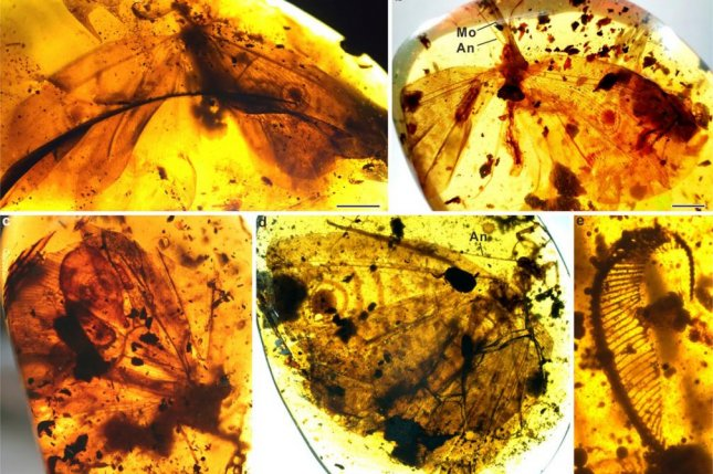 Scientists found evidence of lacewing diversity among newly discovered amber fossils from Jurassic and Cretaceous periods. Photo by CAS/NIGPAS