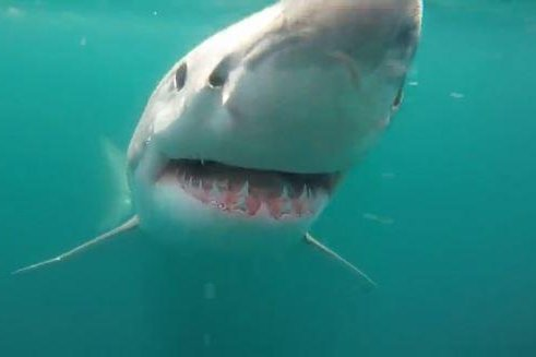 Another 2 shark attacks reported in waters off carolinas upi a great white shark is seen just beneath the surface of the atlantic ocean off the coast of new york june 14 2015 a group of boaters captured the footage publicscrutiny Gallery
