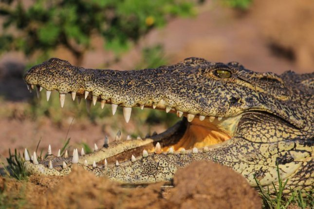 Invasive Nile crocodiles captured in Florida. Photo by JMx Images/Shutterstock