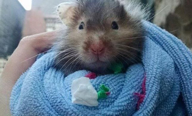 Dying hamster sets out to complete bucket list - UPI com
