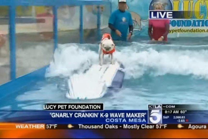 A dog participates in a surfing contest in California. Screenshot: KTLA-TV