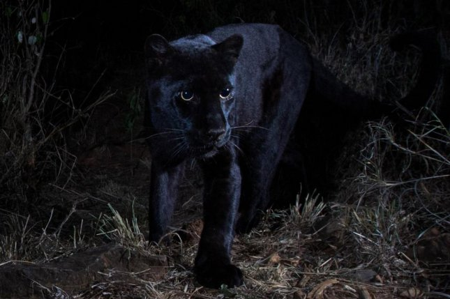 Scientists think the new black panther photos are the first evidence of the elusive cat captured by remote camera technology. Photo by Will Burrard-Lucas/San Diego Zoo/Twitter