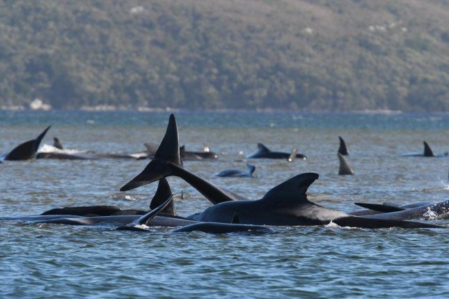 Some 450 pilot whales have been stranded along the western coast of Tasmania. Photo courtesy of Tasmania's Department of Primary Industries, Parks, Water and Environment