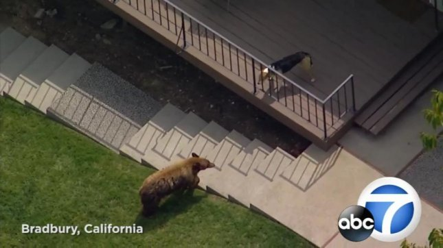 A bear and dog face off in the back yard of a Bradbury, Calif., home before the small canine chases the much larger bear around some playground equipment. Screenshot: KABC-TV